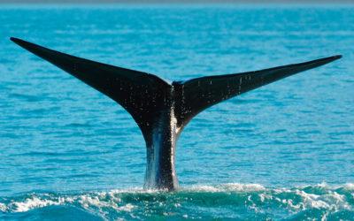 Cuándo ver ballenas en Canadá