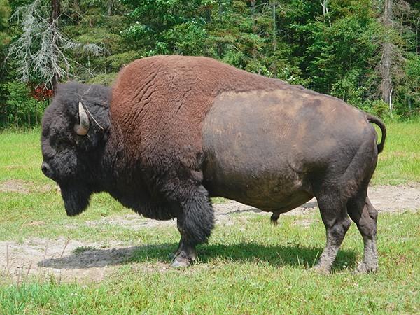 Excursión a granja de bisontes en Canadá