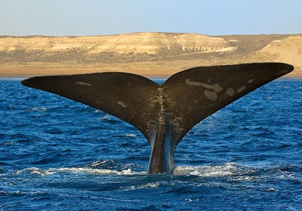 Safari de avistamiento de ballenas en Península Valdés, Argentina