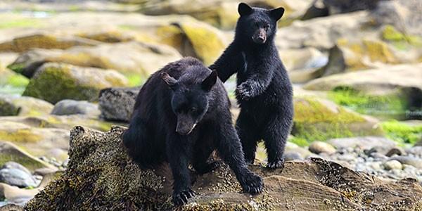 Ver osos en Canadá