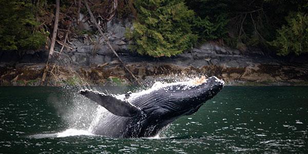 Paseo en barco para ver ballenas en British Columbia Canadá