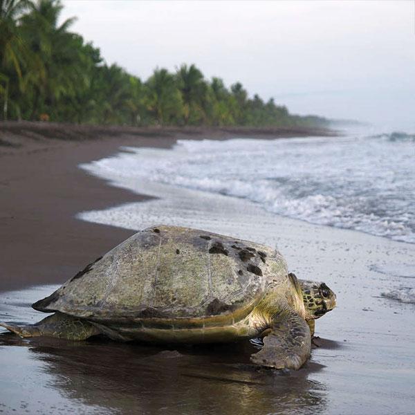 Tortugas en el Parque Nacional de Tortuguero