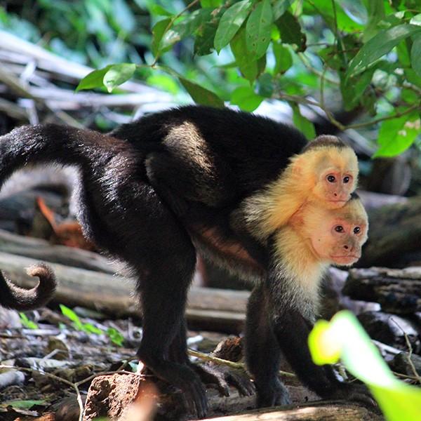 Monos en el Parque Nacional Manuel Antonio, Costa Rica