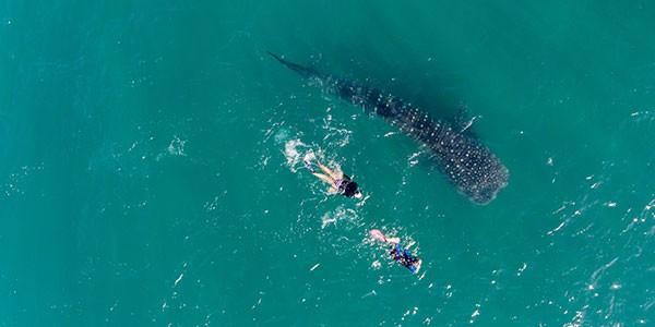 Viaje a México a medida, Snorkel con tiburones ballena