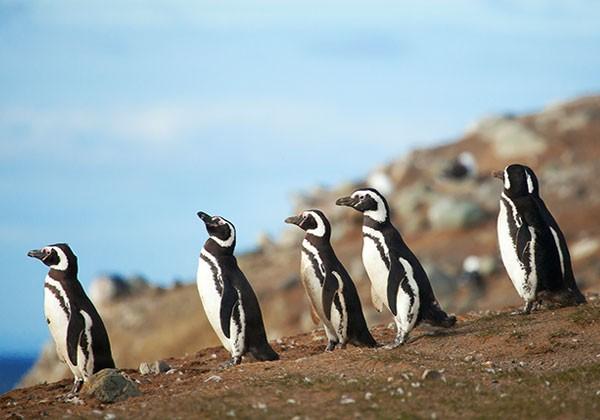 Pingüinos magallánicos en Península Valdés Argentina