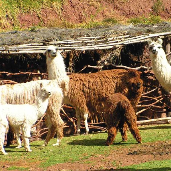Llamas y alpacas en Valle Sagrado de Perú