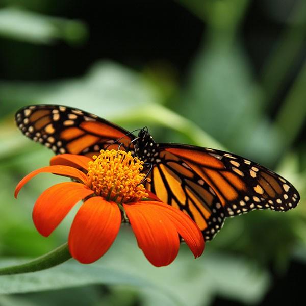Reserva de la Biosfera de la Mariposa Monarca, ecoturismo en México