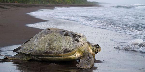 El desove de las tortugas en el Parque Marino Ballena
