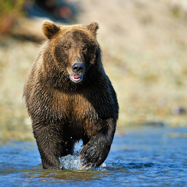 Ver osos grizzly en Canadá Campbell River