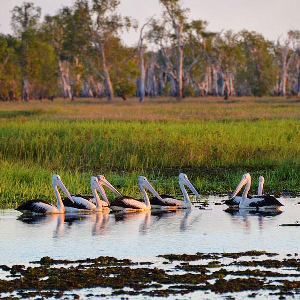 Pelícanos en el Parque Nacional Kakadu