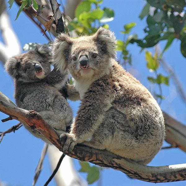 Koalas en isla Canguro viaje de aventura Australia