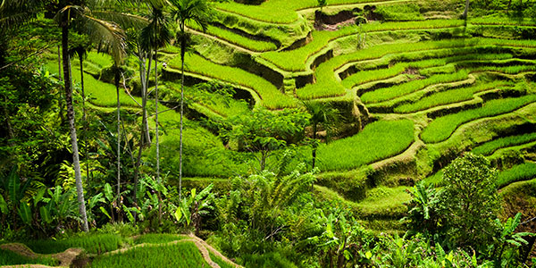 Excursion a los arrozales de Bali