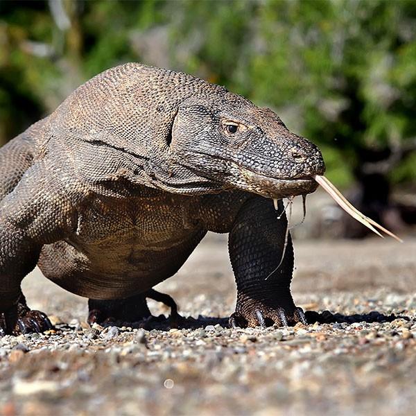 Dragón de Komodo en el viaje a Komodo