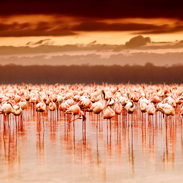Flamencos en el Lago Nakuru, Kenia