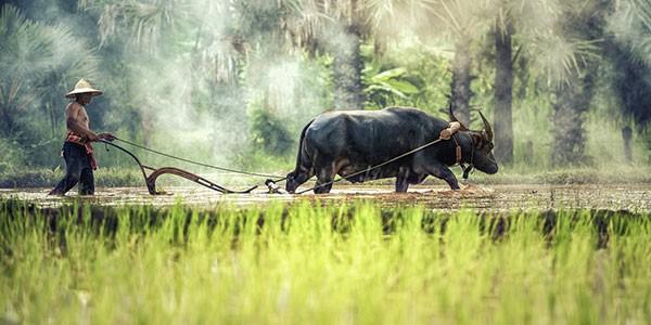 Arar con búfalo en una plantación de arroz
