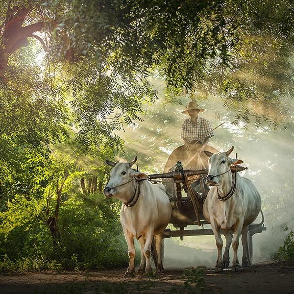Carro tirado por bueyes en Birmania