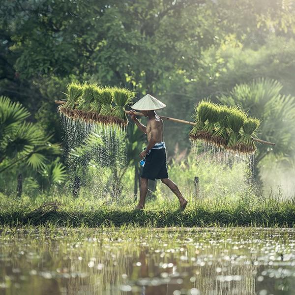 Cultivo de arroz tradicional en Vietnam