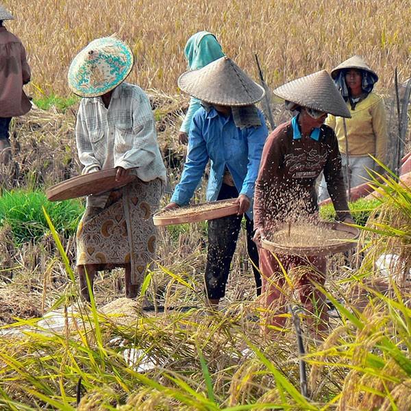 Plantaciones de arroz en Java