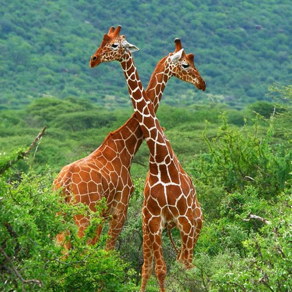 Jirafas en la Reserva Samburu