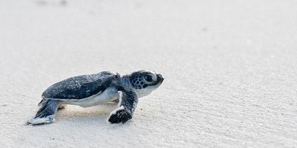 Ver tortugas en Maldivas