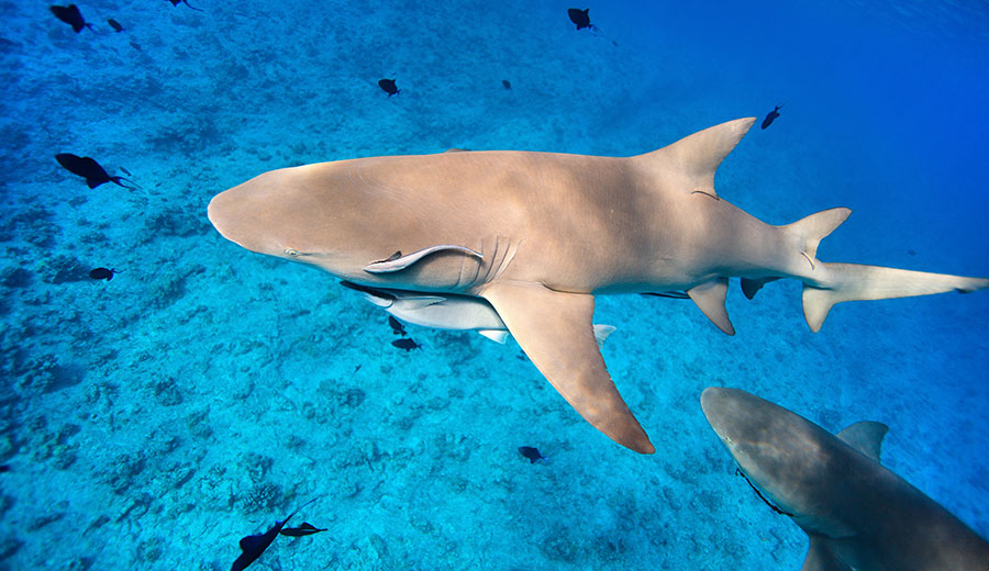 Tiburones en Ushaka Marine Park en Sudáfrica
