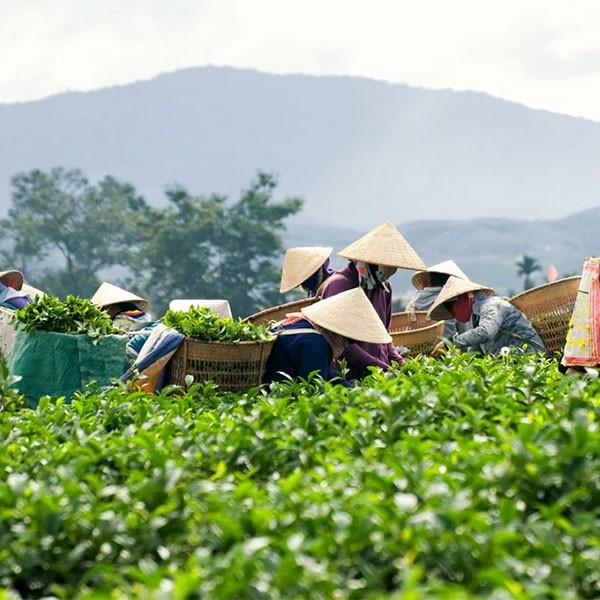 Tierras altas de Vietnam, plantación de té