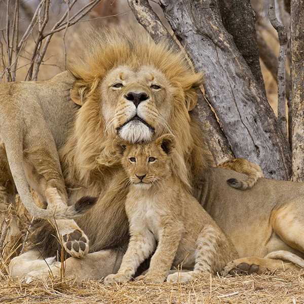Safari en Chobe en 4x4