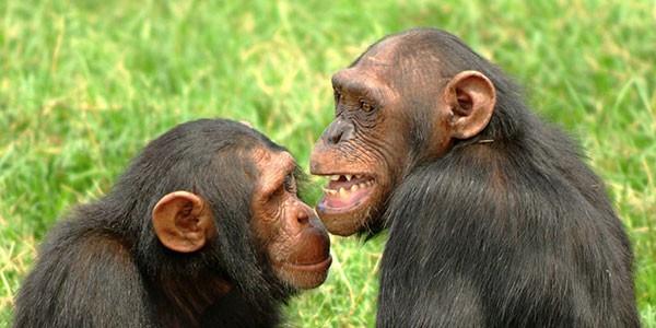 Chimpancés en la isla de Ngamba