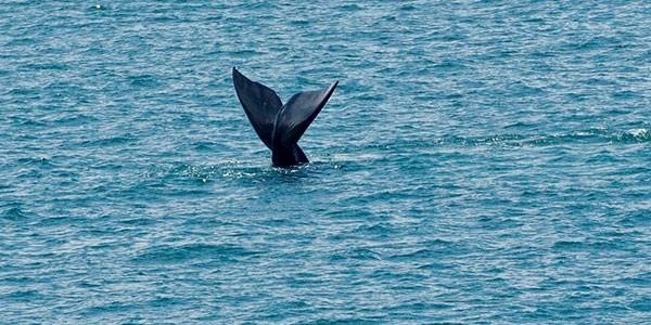 Avistamiento de ballenas en Hermanus