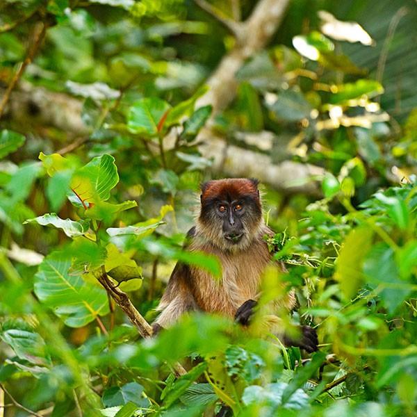 Colobos en el Bosque de Kibale, safari en uganda