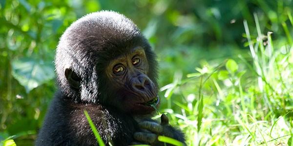 Safari para ver gorilas en Uganda