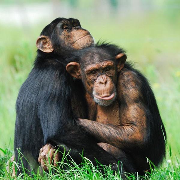 Santuario de chimpancés de Ngamba Uganda