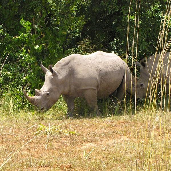 Santuario de rinocerontes Ziwa en Uganda