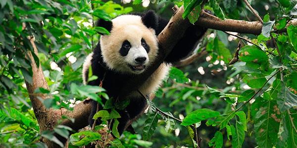 Visita la Reserva Panda de Wolong en tu viaje a China