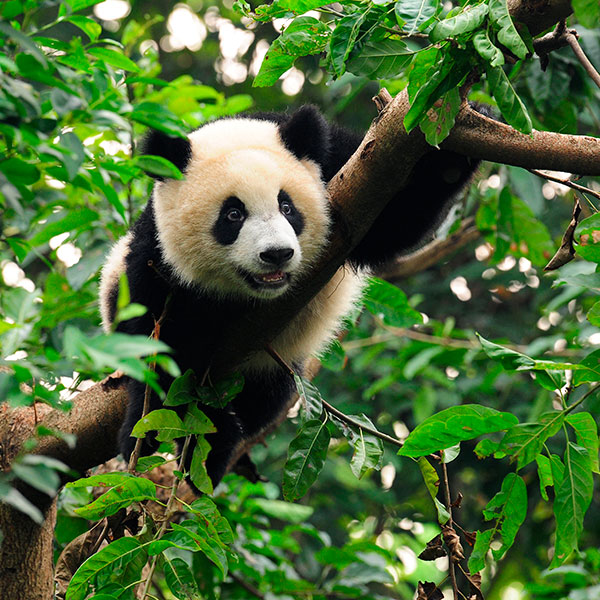 Reserva del Panda de Wolong en Sichuan