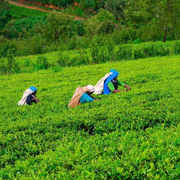 Recoger té en Sri Lanka con niños