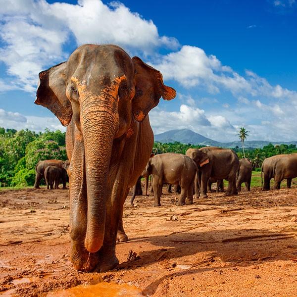 Elefante en el Parque Nacional de Yala