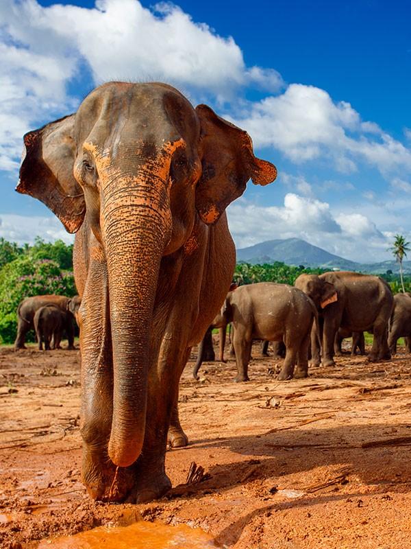 Elefante el en Parque Nacional de Yala