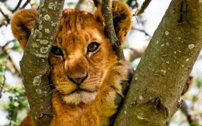 Safari en Uganda en español